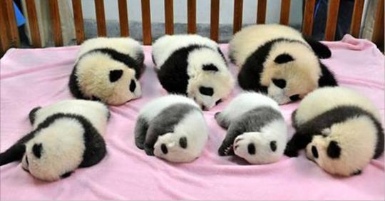 ИНТЕРЕСНОЕДетский сад для панд — самое милое место на земле