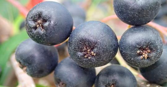 Эта маленькая ягода — мощное средство против рака, гипотиреоза, холестерина, желчных камней, ожирения и замедляет старение!