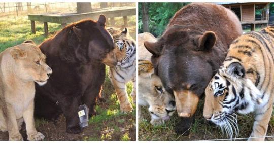 Дружба тигра, льва и медведя длится 15 лет