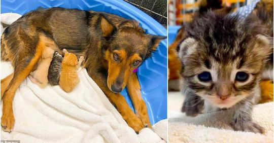 «Материнская программа» взяла своё: собака взялась выкармливать осиротевших котят.