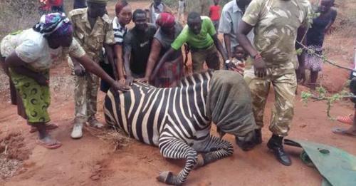Дикая зебра подружилась с осликом на ферме и родила малыша