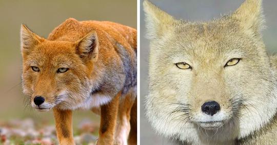 17 снимков тибетских лисиц: животных-пофигистов, которые выглядят как неудачный рисунок обычной лисы